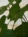 モダンな葉っぱのトレベシア