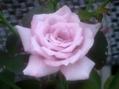 今朝のバラ①