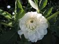 ダリアと夏の花