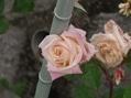 広島市植物公園のオールド・ローズ 1