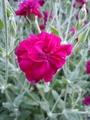 八重咲きリクニス