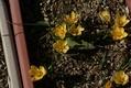 黄色の冬咲クロッカス