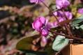 八重咲きのシクラメン・コウム
