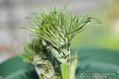 クリスマスローズの原種(H.ムルチフィダス・ヘルツェゴヴィヌス)