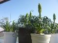 ベランダと庭とエキウム