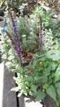 サルビア カラドンナ開花