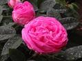 雨に濡れた今朝のバラ③