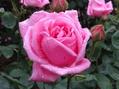 雨に濡れた今朝のバラ④