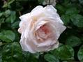 雨に濡れた今朝のバラ⑤