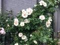 雨の中、白のお花