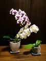 今、我が家で咲いている花💖