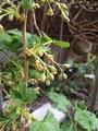 カシスの花