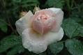 雨に輝くバラたち