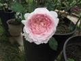 今日の薔薇とbills風朝食