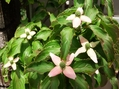 春には~柿の花が咲き~♪