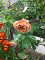 バラ カフェの開花