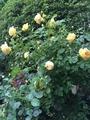 今日の薔薇    2