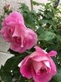 今朝のバラ達  ピンク