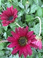 今朝のお花達