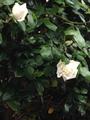 お散歩で可哀想な薔薇に会いました!