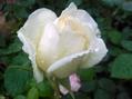 今日の薔薇(^^♪③
