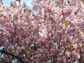 エゾ山桜 / フリチラリア