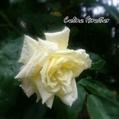 セリーヌフォレスティエ、咲きました♪