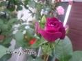 バーガンディアイスバーグ、咲きました♪