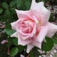 雨・・・それでもバラは咲き続ける。