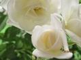 バラの開花