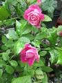 今日咲いたバラ 2016年