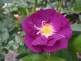 我が家のブルー系のバラ