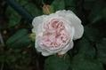雨雨雨そしてバラ 3