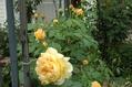 雨雨雨そしてバラ 5