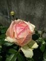 🌹薔薇咲きました🌹