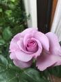 薔薇が咲き始めました。