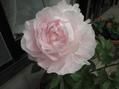 シャクヤク「かぐや姫」が咲きました