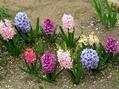 ヒヤシンスが少し大人に🌼水仙と今日の庭の様子