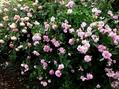 雨上がりのバラの庭③