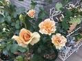 復活のバラ