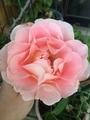 つるバラの種類です🌹咲いて嬉しい💓