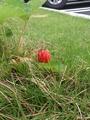 芝生の中のイチゴ