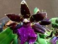 Zygopetalum:  開花株を受け取りました😸