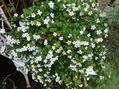 大好きなアイスバーグが咲き始めました。