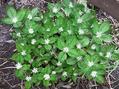 タチカメバソウが咲きました