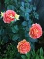 今朝のバラ達