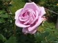 緑地の薔薇