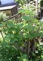 酔芙蓉の芽吹きと一重の芍薬