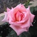 四季咲つるバラ…「ジャネットくん」❗️