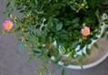Mini薔薇 雅[miyabi]第2の鉢No.2